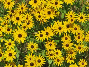 black-eyed-susan-flowers
