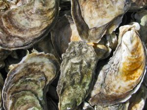 virginia oysters in the shell