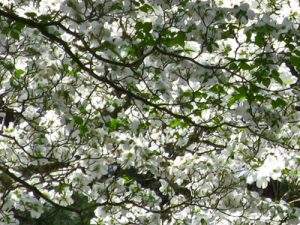 dogwood tree blooming
