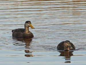 black ducks pair